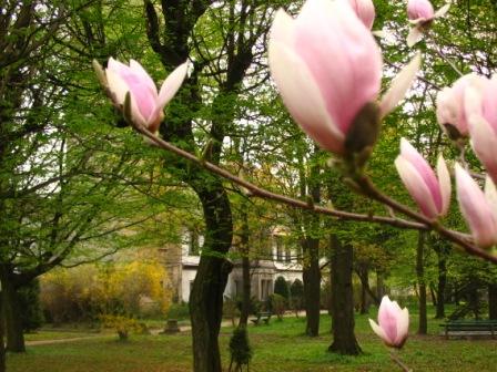pałacowa magnolia1